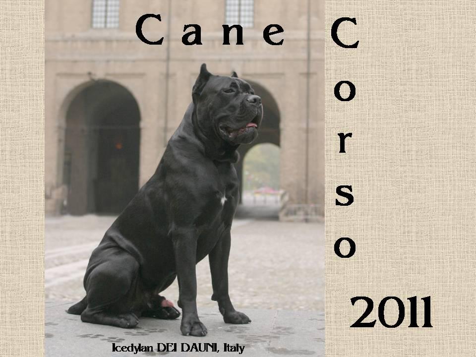 Famoso Cane Corso Calendar 2011